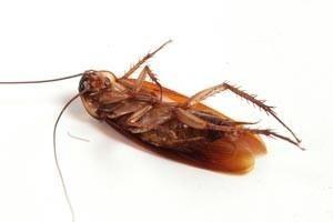 C mo eliminar cucarachas peque as en casa chiquitas - Como eliminar ratas en casa ...