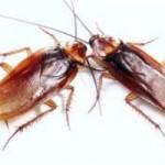 Los diferentes tipos de cucarachas