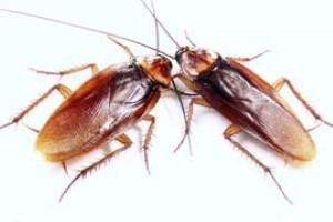 Cucaracha americana