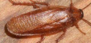 Cucaracha de la madera