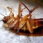 Como exterminar cucarachas de forma permanente, rápida y natural