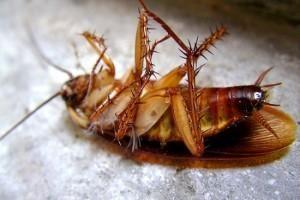 Como exterminar cucarachas