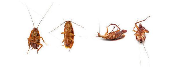 Cucaracha: información sobre las cucarachas, características