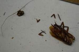 Cuánto tiempo vive una cucaracha sin cabeza