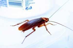 Cómo eliminar cucarachas con vinagre