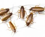 ¿Cómo eliminar una plaga de cucarachas alemanas? Métodos caseros