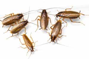 Cómo eliminar una plaga de cucarachas alemanas