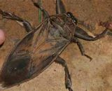 ¿Qué es la cucaracha de agua, es peligrosa, pica, cómo eliminarla?