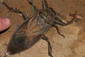 La cucaracha de agua