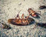 ¿Qué producto se usa para las plagas de cucarachas?