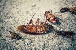 ¿ Qué producto se usa para las plagas de cucarachas ?