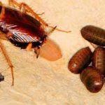 Huevos de cucaracha: qué es la ooteca, cómo eliminar, remedios