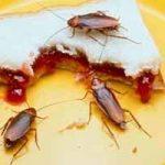 Qué comen las cucarachas en las casas: comida favorita