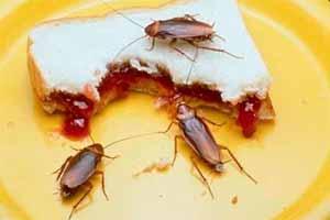 Qué comen las cucarachas en las casas