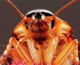 ¿Las cucarachas pican o muerden a los humanos? Enfermedades que transmiten