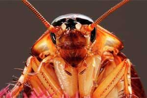 Las cucarachas pican o muerden