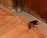 Cómo saber si hay cucarachas en casa: qué significa tener un nido, una plaga
