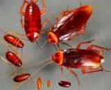 Cómo se reproducen las cucarachas: tiempo, apareamiento