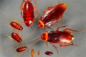 Cómo se reproducen las cucarachas